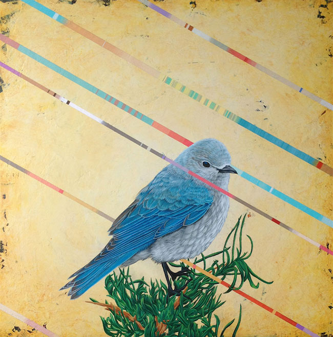 David Rice - Mountain Bluebird